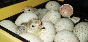 Ako položiť vajcia