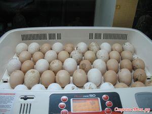 Inkubácia moriakových vajec