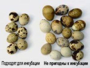 Inkubácia prepeličných vajec