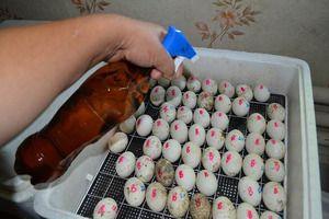 Pravidlá pre kladenie vajec v inkubátore