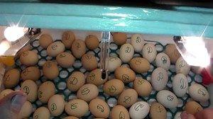 Inkubácia kačacích vajec