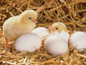 Pokyny pre chovné kurčatá