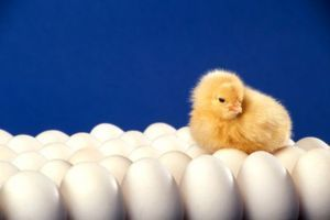 Zber vajec na inkubáciu