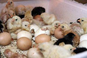 Skladovanie vajec na inkubáciu