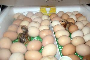 Podmienky inkubácie kurčiat