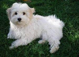 Taliansky bolonézsky pes, rysy