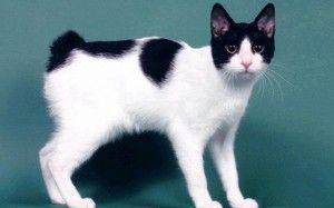 Japonský bobtail: charakteristiky plemena mačiek, starostlivosť, ceny