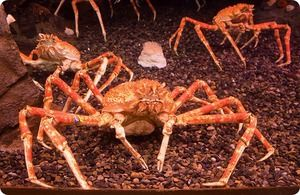 Japonský pavián krab: popis obrie krab