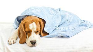 Enteritida u psov: príznaky a liečba
