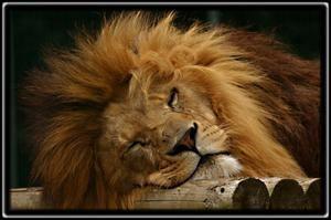 Aký je sen levu v snoch?