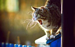 Ako často a koľko dní chodí mačka?