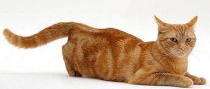 Ako zistiť, či mačka chodí
