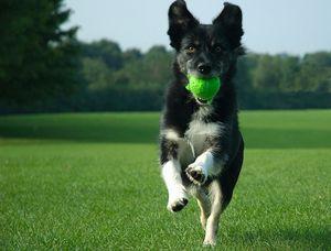 Pes prináša loptu