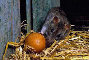 Ako sa zbaviť potkanov v kurníku: najlepšie spôsoby