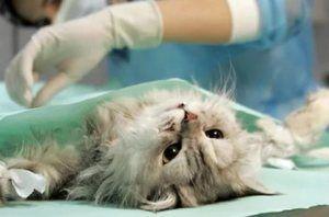 Sterilizácia mačky na klinike