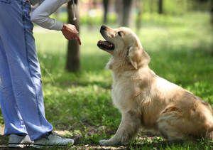 Tréning dospelých psov