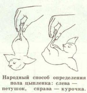Spôsoby, ako rozlíšiť pohlavie kuracieho mäsa