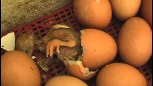 Ako sa narodilo kurča?