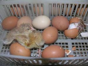 Starostlivosť o kurčatá