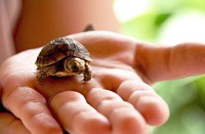 Spôsoby určovania pohlavia korytnačiek