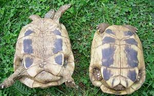 Ako poznať pohlavie želvy