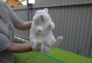 Ako poznať pohlavie králika podľa jeho správania a vzhľadu
