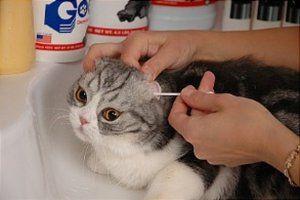 Ako čistiť uši mačky doma?