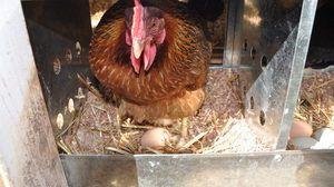 Ako sliepka jedie vajcia