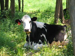 Najbežnejšie prezývky kráv