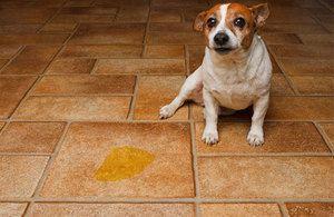 Čo robiť, ak pes piss domáce