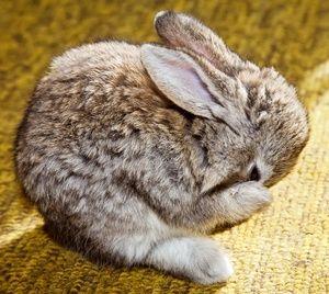 Ako podávať dekoratívne králiky
