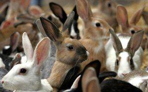 Ako starostlivosť o králiky: popis a vlastnosti starostlivosti