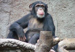 Opičia šimpanz