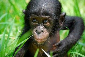 Opička bonobo
