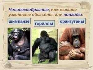 Druhy antropoidných opíc