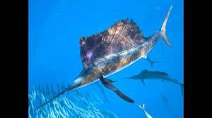 Aké sú najrýchlejšie ryby na svete?