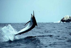 Modrý marlin