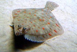 Ryby žijúce pri mori: morské alebo riečne ryby