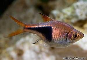 Triedenie blotnotnistaya - akváriové ryby