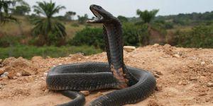 Cobra: na to, čo had môže sen podľa snov knih