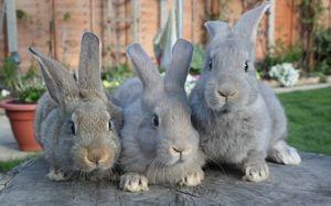 Kokcidióza u králikov a kurčiat: príznaky a liečba