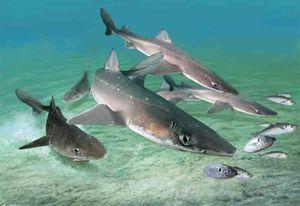 žraloky Katran
