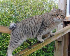 Cat pixibob: popis plemena, vlastnosti starostlivosti