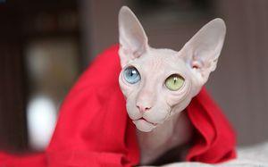 Mačka plemena Sphynx: ako krásna je plešatá mačka