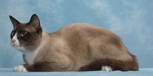 Plemeno mačiek