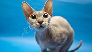 Sphynx mačka: rysy plemena