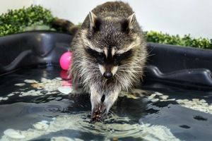 Raccoon oplachuje labky