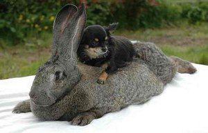 Veľký králik Ralph