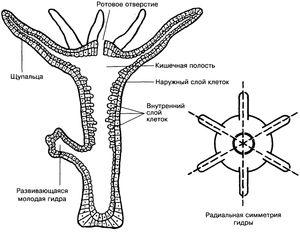 Črevný polyp je ďalším názvom pre sladkovodnú hydra