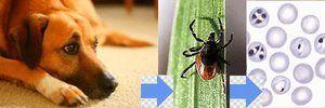 Liečba pyroplazmózy u psov a príznaky ochorenia